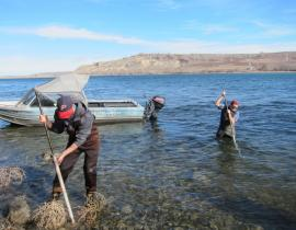Scientists install equipment in the Columbia River to draw water samples from beneath the river bed, where ground water and river water mix. Photo courtesy of PNNL