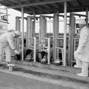 Sheep testing at Hanford