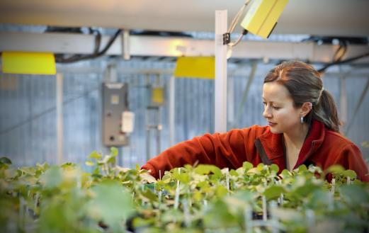 A scientist conducts research on Eastern Cottonwoods at ORNL. Photo courtesy of DOE.
